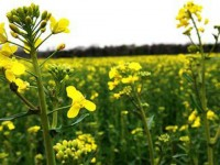 Self-sufficing in Oilseed Crops Production:  A Need of the Day